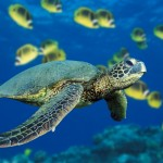 calming  sea turtle image for stress management